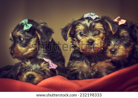Four curious cute Yorkshire terrier dog puppies with head fur tied with colorful bows laying on red blanket. Shallow depth of field. - stock photo