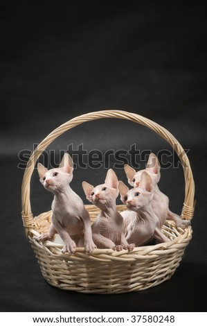Four cute sphinx kittens on the cat house - stock photo