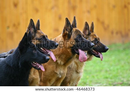 Four dogs of breed a German shepherd in a profile attentively look afar - stock photo