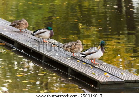 Four ducks preening its feathers and relaxing on a wooden platform on the pier of the city pond in a park in Riga, Latvia - stock photo