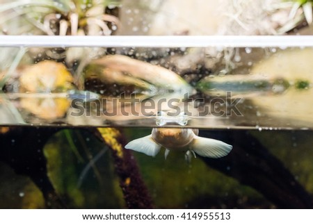 Four-eyed fish (anableps anableps) floating on surface of water in an aquarium - stock photo