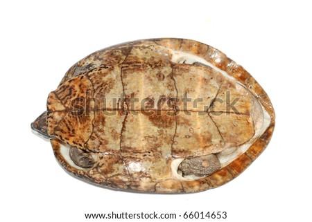 Four-eyed turtle (Sacalia quadriocellata) - stock photo