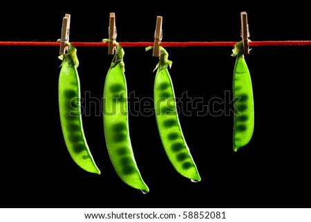 four fresh crisp green peas in a pods  hanging on a rope. isolated on black background. - stock photo