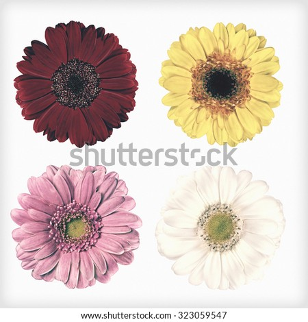 Four Fresh Red, Pink, Yellow and White Gerbera Flowers  Isolated on White Background. Flowers are in a shabby sheek vintage and retro style. - stock photo