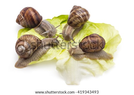 Four garden snails (Helix aspersa) on fresh lettuce leaf isolated on white background. Mollusk. Teamwork concept - stock photo