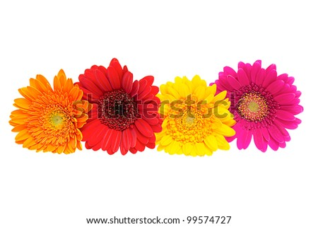 Four Gerber Daisy isolated on white background - stock photo