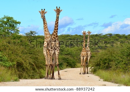 four giraffe in perfect forming - stock photo