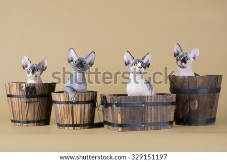 Four hairless kitten sitting in pots (isolated on beige) - stock photo