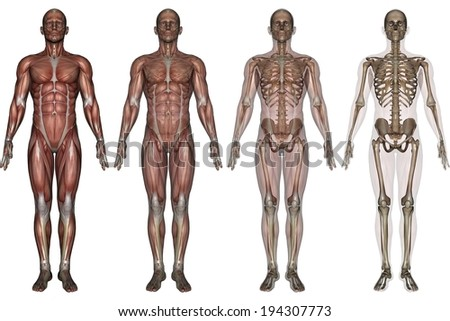 Four human forms all focused on different parts of the human anatomy. - stock photo