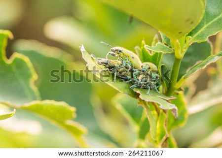 Four Hypomeces squamosus (Green weevil), Greenish yellow insect on lemon tree - stock photo