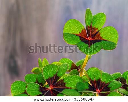 Four-leaf clover 5 - stock photo