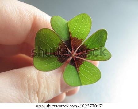 Four Leaf Clover/Good luck! - stock photo
