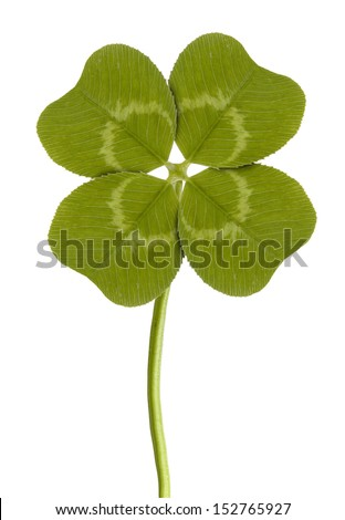 four-leaf clover isolated on white  - stock photo