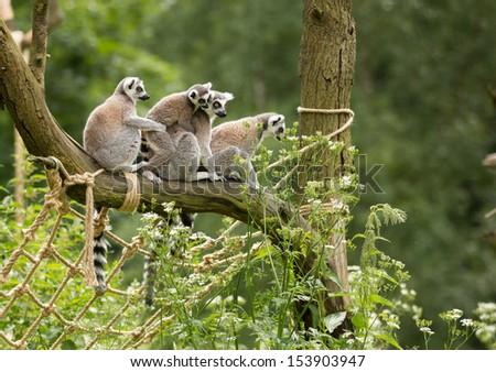 Four Lemur Katas on the tree branch - stock photo