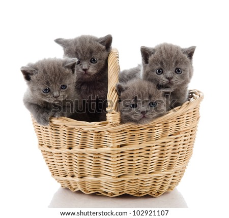 four little british kittens cat sitting in basket. isolated on white background - stock photo