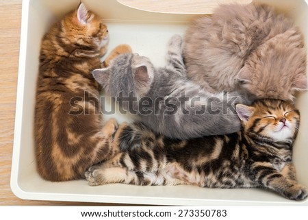 Four little kittens British breed sleeping in a plastic box - stock photo