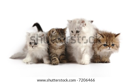 four little persian kittens - grey, white and brown colors - stock photo