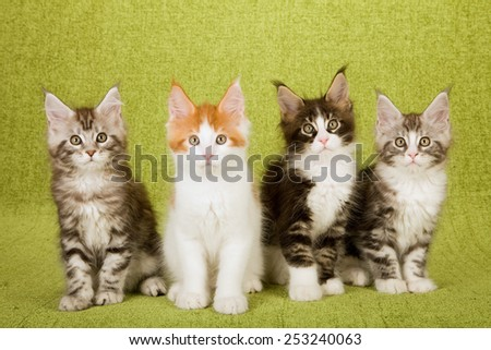 Four Maine Coon kittens sitting in a row on green background  - stock photo