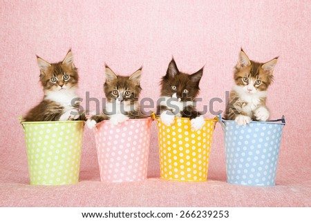 Four Maine Coon kittens sitting inside polka dot buckets pails on pink background  - stock photo