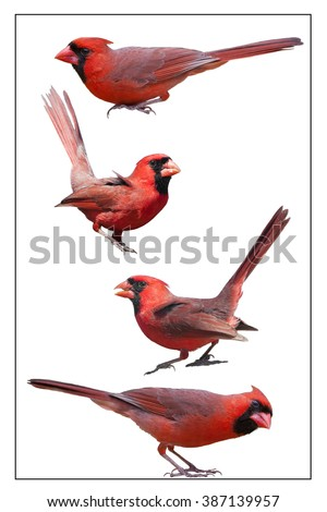 Four Male Northern Cardinals Isolated on White Background - stock photo