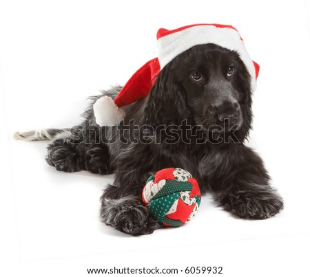 Four month old cocker spaniel puppy dog with santa hat and christmas decoration - stock photo