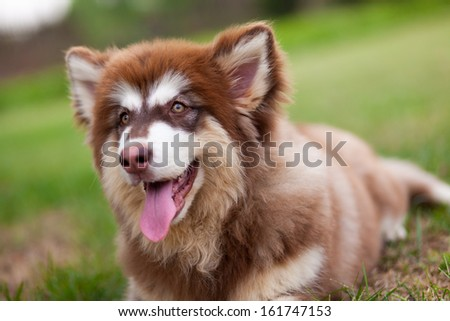 Four month old red Alaska sled dogs - stock photo