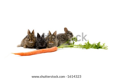 Four Netherland dwarf bunnies and a carrot, isolated on white background - stock photo
