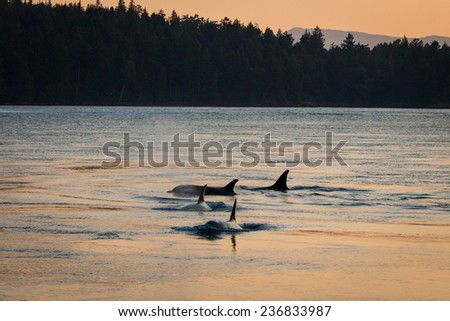 Four orcas are silhouetted in the evening light at sunset. - stock photo