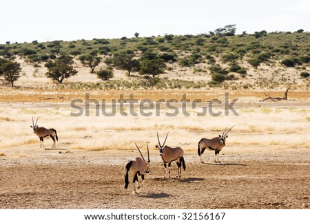 Four Oryx (Gemsbok) grazing in the Kalahari - stock photo