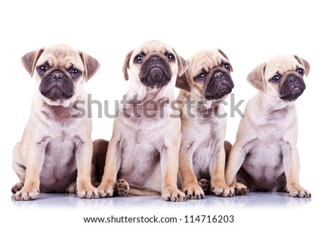 four precious pug puppy dogs sitting on a white background and looking in different directions - stock photo