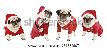 four pugs as a Christmas gift, exempted, white background, dressed as santa claus, cutout - stock photo