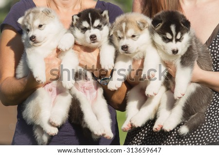 Four puppies Siberian Husky. Litter dogs in the hands of the breeder. Little puppies. - stock photo