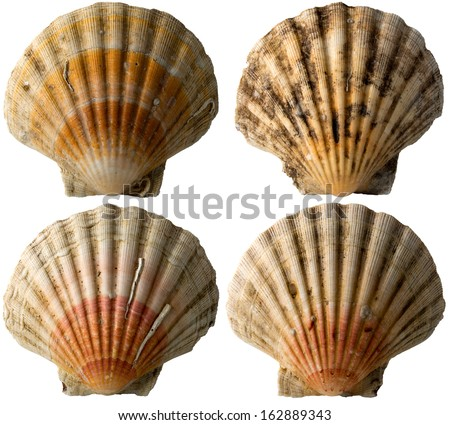 Four Scallop Shells - See Pectinidae - 1 / Set of four scallop seashells isolated on white background - stock photo