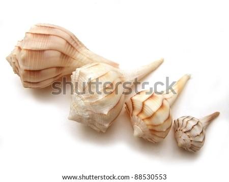 Four seashells, lightning whelks from Florida - stock photo