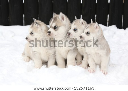 Four Siberian husky puppies - stock photo