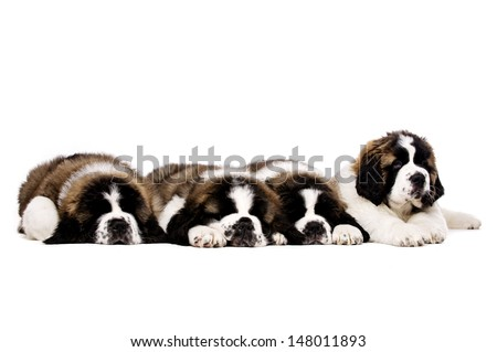 Four sleepy St Bernard puppies together isolated on a white background - stock photo