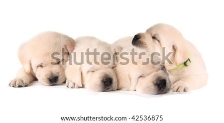 Four sleepy yellow lab puppies. - stock photo