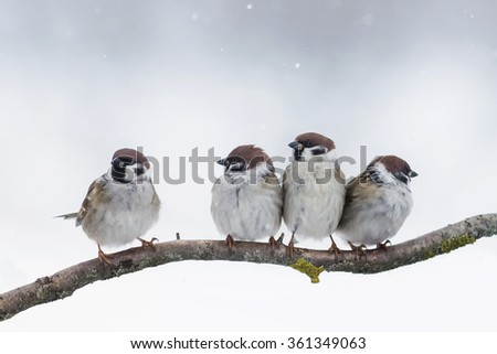 four sparrows sitting on a branch in winter in the snow - stock photo