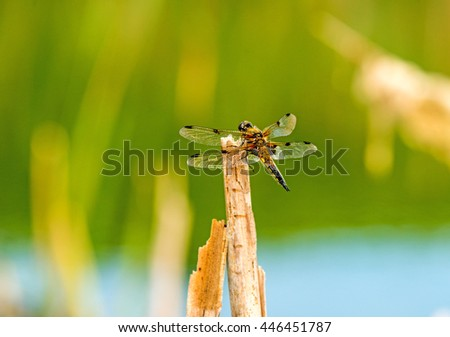 Four-Spotted chaser, dragonfly sitting on a leaf near a pond - stock photo