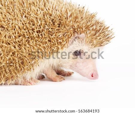 Four-toed Hedgehog, Atelerix albiventris, on white background  - stock photo