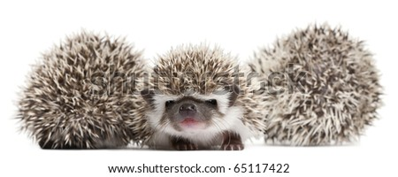 Four-toed Hedgehogs, Atelerix albiventris, 3 weeks old, in front of white background - stock photo
