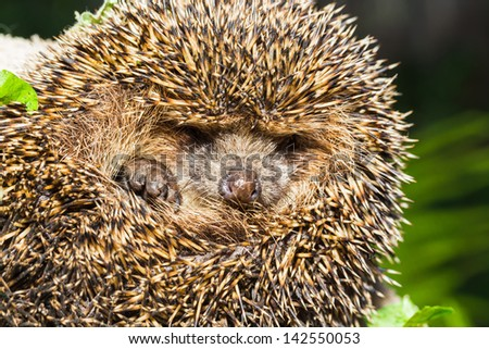 Four-toed young hedgehog, Atelerix albiventris, balled up - stock photo