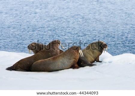 Four walrus lying on the snow.  Horizontally framed shot. - stock photo
