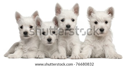 Four West Highland Terrier puppies, 7 weeks old, in front of white background - stock photo