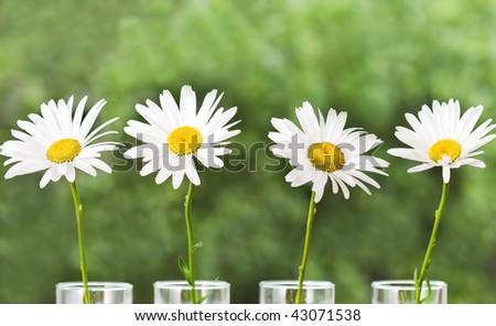 Four white daisies against a garden background - stock photo