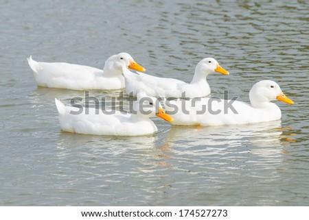 four white ducks swimming across a pond - stock photo