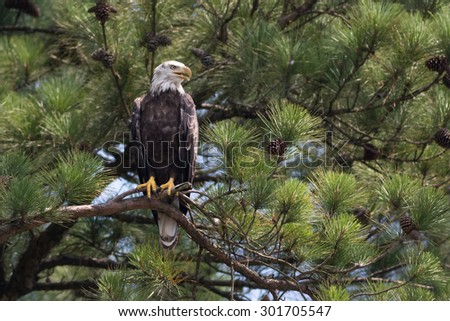 Four year old Bald Eagle perched in tall pine tree - stock photo