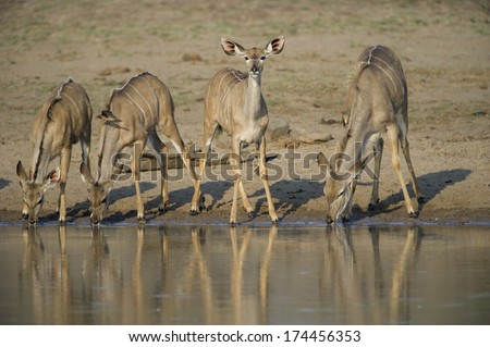 Four young Kudu quench their thirst in the African Heat - stock photo