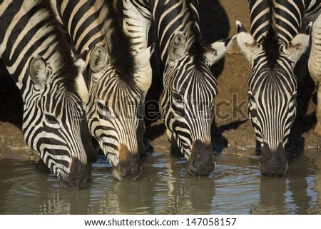 Four zebras drinking, South Africa - stock photo