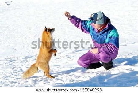 Fox feeding - stock photo